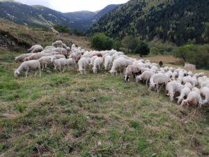 brebis et agneaux en estive
