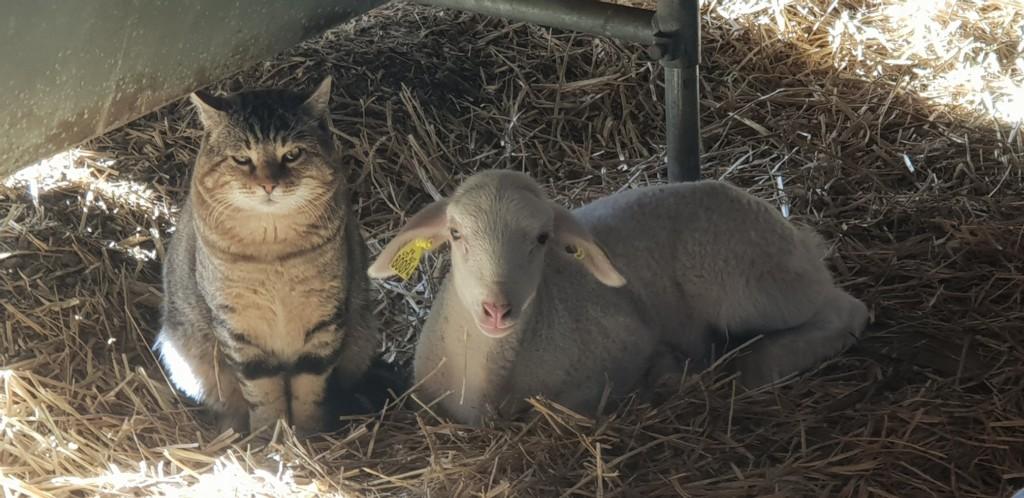Le chat et l'agneau de noel